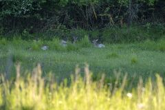 Fallow deer on green forest background