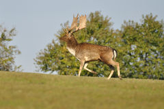 Fallow deer on green grass. With trees in background Stock Photos