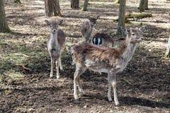Fallow Deer. A group of female deers. Dama dama Royalty Free Stock Images