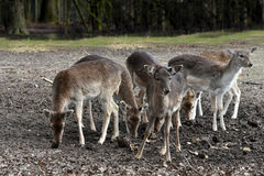 Fallow deer. Group of female young fallow deers royalty free stock image