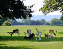 Fallow Deer. A group of fallow deer standing in the shade stock images