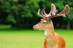 Fallow deer head Stock Image