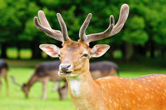 Fallow deer head Stock Photos