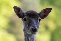 Fallow deer head. A picture of the head of a fallow deer with a blurry background of a forest. The picture is taken in the summer stock image