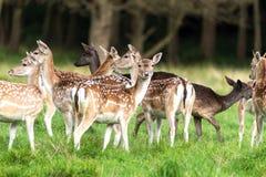 Fallow Deer Herd. Herd of fallow deer against a background of trees stock photo