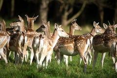 Fallow Deer Herd Stock Images