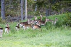 Fallow deer. A herd of fallow deer Royalty Free Stock Photos