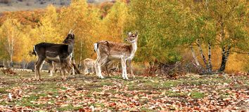 Fallow deer herd in autumn Royalty Free Stock Photo