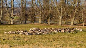Fallow Deer Herd - Dama dama in early January. A Fallow Deer herd - Dama dama consisting of mainly does and yearlings with a few prickets (second year stock photography