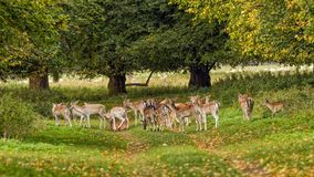 Fallow Deer Herd - Dama dama, Warwickshire, England. A herd of Fallow Deer, Dama dama, comprising of does and prckets resting in a woodland ride during the Stock Images