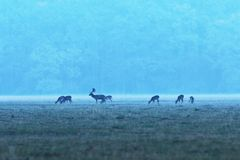Fallow deer herd at dawn. Dama dama, buck with does royalty free stock photography