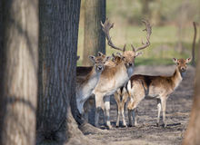 Fallow deer herd. Fallow deer family standing in forest and looking at camera royalty free stock image
