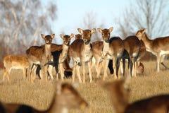 Fallow deer herd Stock Photography