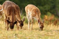 Fallow deer herd grazing Royalty Free Stock Images