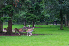 Fallow deer herd. Leaving the woods Stock Images