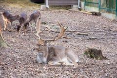 Fallow-deer Royalty Free Stock Photography