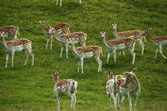 Fallow deer in the herd with spotted summer coat Stock Photography