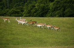 Fallow deer in the herd with spotted summer coat Royalty Free Stock Images