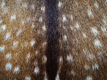 Fallow Deer Hide. The hide of a fallow deer Stock Image