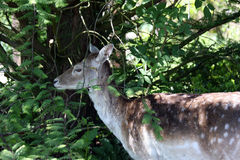 Fallow deer hiding Stock Photo