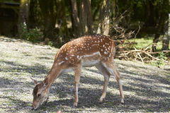 Fallow Deer Stock Photography