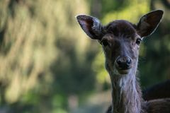Fallow deer hind. A fallow dear hind looking into the camera with a blurry forest background royalty free stock images