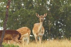 Fallow deer hind looking at camera. Fallow deer ( Dama ) hind looking at camera while grazing on a glade Stock Images