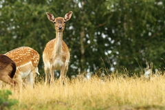 Fallow deer hind Stock Photography