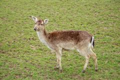 A fallow deer hind in a park. The fallow deer Dama dama is a ruminant mammal belonging to the family Cervidae. This common species is native to Europe, but has stock photography