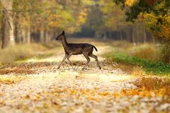 Fallow deer hind passing road in the woods Royalty Free Stock Photos