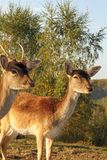 Fallow deer hind portrait Stock Photo