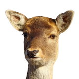 Fallow deer hind portrait over white Stock Images