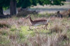 A fallow deer hind prancing in a park. The fallow deer Dama dama is a ruminant mammal belonging to the family Cervidae. This common species is native to Europe stock photo
