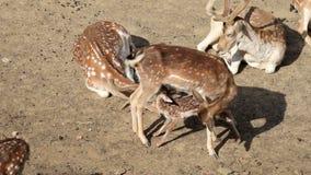 Fallow Deer hinds stock footage