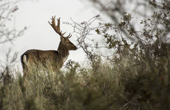 Fallow deer in holland Royalty Free Stock Photos