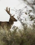 Fallow deer in holland Stock Image