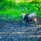 Fallow Deer in Holland. A picture of a Fallow deer in the Nature park in Holland stock photography