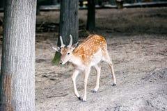 Fallow deer. Royalty Free Stock Photography