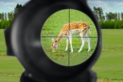 Fallow deer hunting. Fallow deer at gunpoint of hunter's riffle stock photo