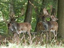 Fallow deer Dama dama. Fallow deer in its natural habitat in Denmark royalty free stock photo