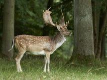Fallow deer Dama dama. Fallow deer in its natural habitat in Denmark stock photography