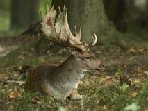 Fallow deer Dama dama. Fallow deer in its natural habitat in Denmark stock photo