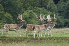 Fallow deer Dama dama. Fallow deer in its natural habitat in Denmark royalty free stock photos