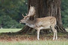Fallow deer Dama dama. Fallow deer in its natural habitat in Denmark stock image