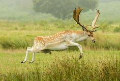Fallow deer jumping ditch royalty free stock images