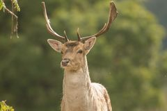 A close up of a fallow deer`s head stock photography