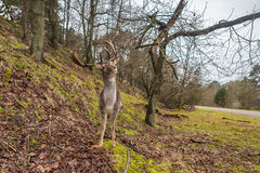 Fallow deer lifting its head and antler in natural forest background. Frontal view with eye contact royalty free stock photos