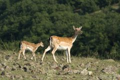 Fallow deer with a little Stock Images