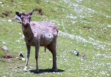 Fallow Deer. Lone fallow deer in New Zealand Royalty Free Stock Image