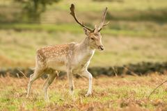 Fallow deer in long grass royalty free stock photos